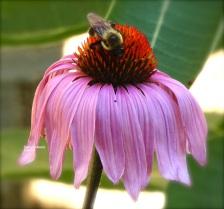 Purple Coneflower and Bee